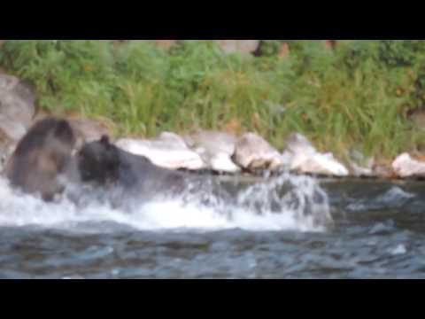 Two Grizzly bears fighting for a collapsed bison (LeHardy Rapids, Yellowstone)