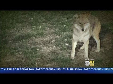 Exclusive: Coyotes Invade A Westchester Neighborhood