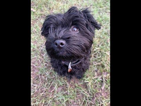 Stella - 3 month old Havanese puppy - 5 Weeks Residential Dog Training