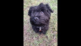 Stella - 3 month old Havanese puppy - 5 Weeks Residential Dog Training