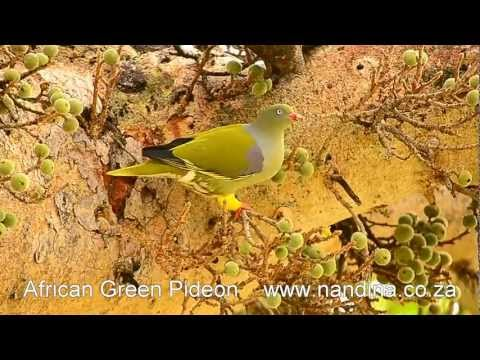 African Green Pigeon (Treron calvus) feasting on fruit
