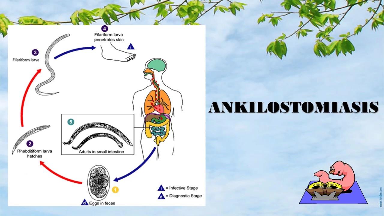 ankilostomiasis inkubációs periódus