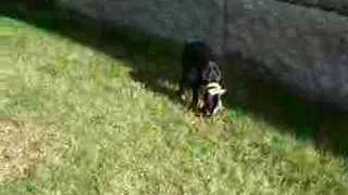 Doberman Puppy Plays With Boxer (and Pug)