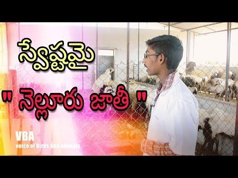 Sheep Farming In Telugu | Nellore Judipi Breed | Aravind | RSK Farm |