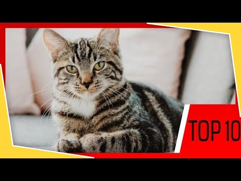 TOP 10 CAT BREEDS TO OWN IN 2020!