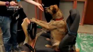 Teaching Dogs To Drive