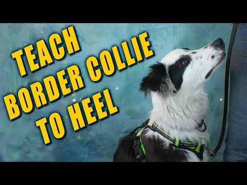 Teaching Border Collie to Heel