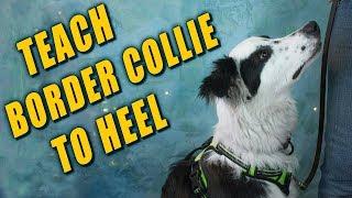 Teaching Border Collie to Heel
