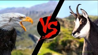 Walki Zwierząt - Orzeł vs Koza