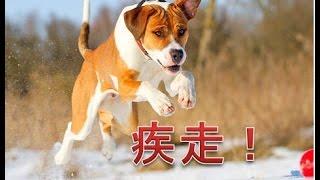 このランキングの犬たちは押しのけて俊足で、走ることが何より大好きで...