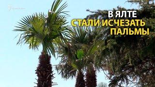 Сбежавшие ялтинские пальмы
