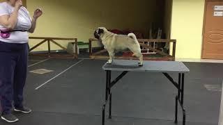 Дрессировка собаки на столе 1 / Dog training on the table 1
