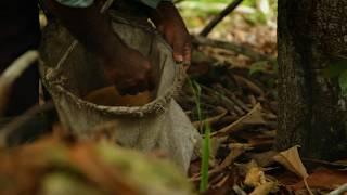 KLORANE - Voyage en Terre Botanique - Le CUPUAÇU