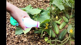 Огурцы ведрами собирать будете день и ночь, огурцы плодоносят и будут плодоносить если делать так