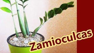 Долларовое дерево 🔴 Замиокулькас 🔴 Пересадка и уход за долларовым деревом
