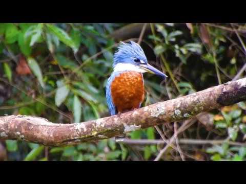 Martim-pescador-grande na espera,  Megaceryle torquata, Ringed Kingfisher,  Coraciiformes,