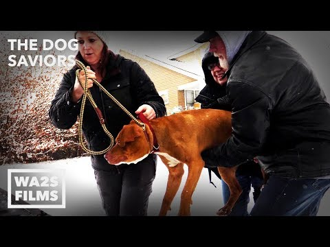 Pit Bull On Chain Rescued From Detroit by Hope For Dogs | My DoDo