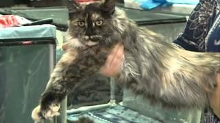 Шестипалый мейн-кун, шоу домашних леопардов и рогатые котята: в Благовещенске проходит ...