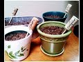 How to Grow Herbs in Containers Indoors Cilantro, Basil, Oregano & Parsley