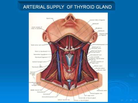 56 Blood Supply Of Thyroid Gland Youtube