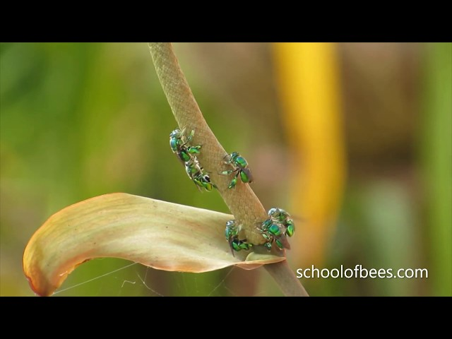 Green Bees
