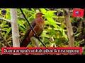 Suara Burung Uncal Merah Tekukur Merah Tekukur Api Macropygia Emiliana Ampuh Untuk Pikat  Mp3 - Mp4 Download