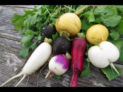 Выращивание редьки, редиса, репы, дайкона.  5.  Сбор урожая редьки, репы и дайкона