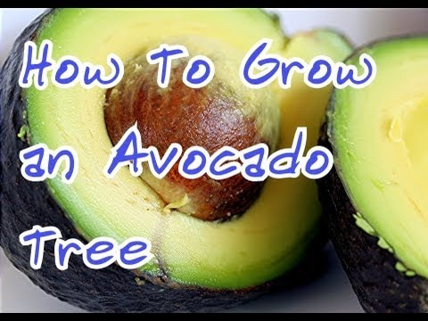 how to grow an avocado tree how to start a avocado seed at home my avocado seedling update. Black Bedroom Furniture Sets. Home Design Ideas