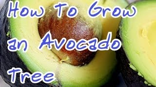 How to grow an Avocado Tree / How to start a Avocado seed at home / My Avocado seedling update