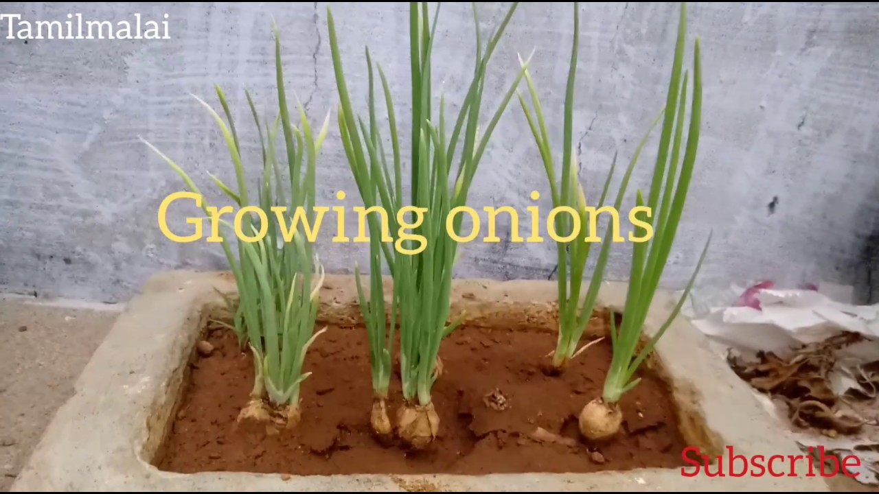 how to grow onions from seed//onion growth stages ...