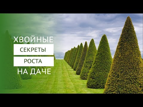 Можжевельники - сорта, посадка, выращивание, уход и