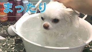 コハクはお風呂がとっても大好きです! 本当に手がかからないいい子です...