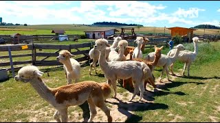 Odwiedzamy Alpakową Kotlinę w Kamieńcu