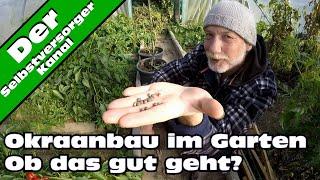 Okraanbau im Garten. Ein voller Erfolg. :)