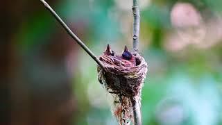 Tiếng chim Thiên Đường đuôi phướn hót