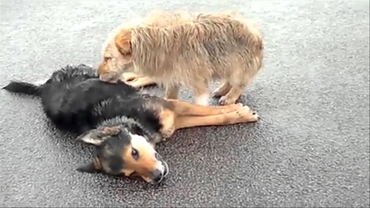 video animal 2 chiens refusent d 39 abandonner leur compagnon mort sur la route youtube. Black Bedroom Furniture Sets. Home Design Ideas