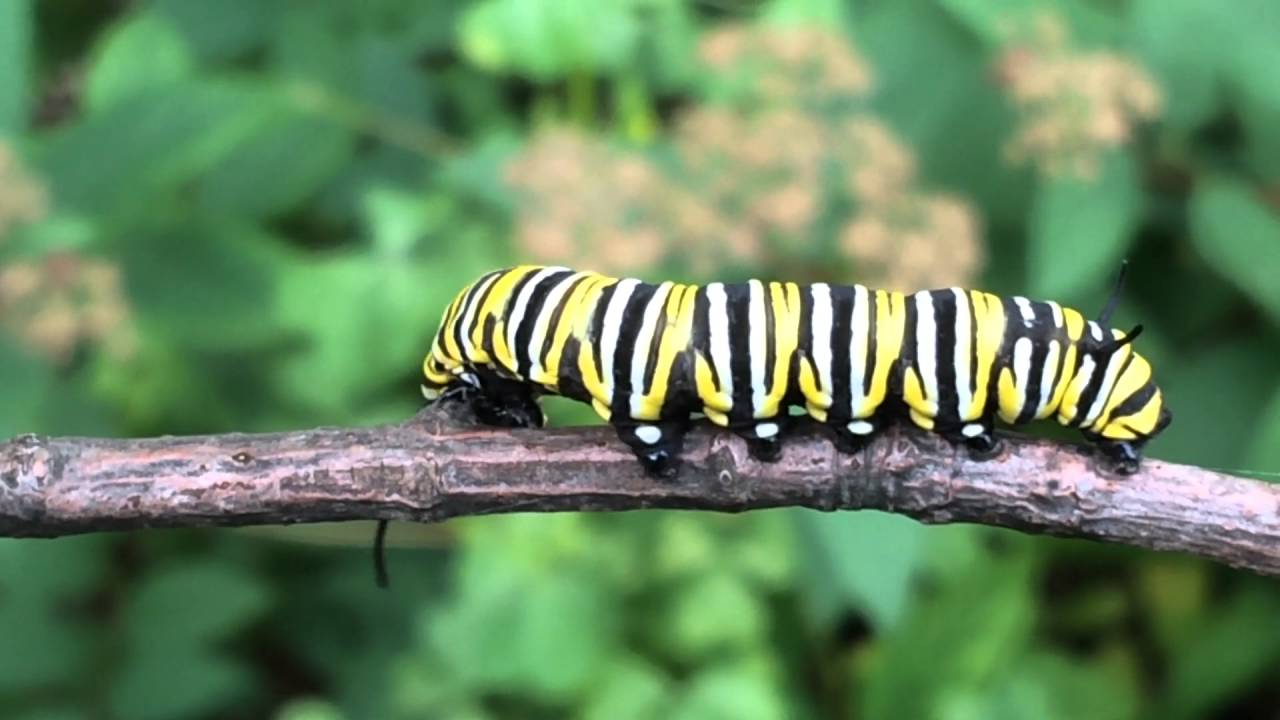 Segment  Butterfly Life Cycle Of A Monarch