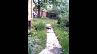 Барсук, кот чёрно белый, кошка серая Габи