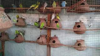 BUDGIES EGGS KAB DETE HEIN , KESE DETE HEIN , OR EGGS KAB HATCH HOTY HEIN IN DETAIL