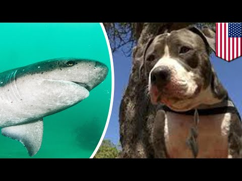 Pitbull fights off shark to save owner - TomoNews