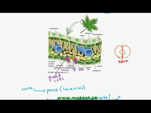 FSc Biology Book1, CH 13, LEC 2: Gaseous Exchange in Plants