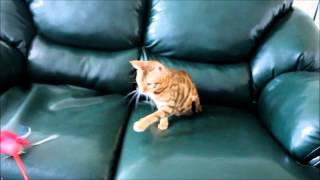 Бенгальская кошка Фортуна