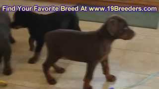 Doberman Pinscher, Puppies, For, Sale, In, Baton Rouge, Louisiana, La, Minden, West Monroe, Luling,
