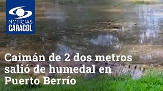 Caimán de 2 dos metros salió de humedal donde vive y se le vio por las calles de Puerto Berrío