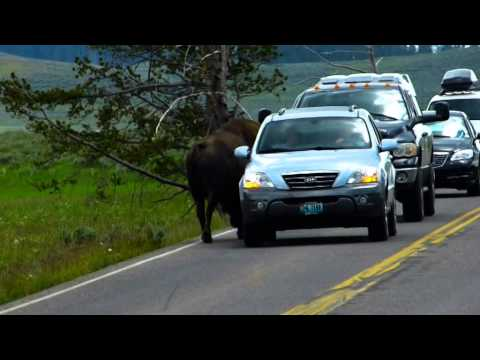 Yellowstone National Park 2014 - Bison im Anmarsch