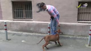 Дрессировка щенка риджбека, какие упражнения можно делать используя столбики против авто