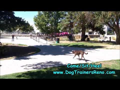 Reno Dog Trainer Transforms Reactive Chocolate Lab!
