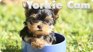 Yorkie Puppy Cam