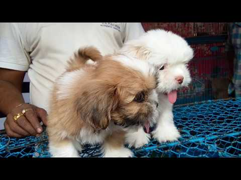 So Cute Adorable Lhasa Apso Puppy For Sale At Galiff Street L Cheapest Pet Market Of India