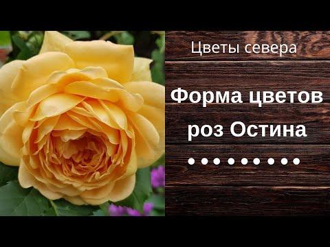 Форма цветов роз Остина